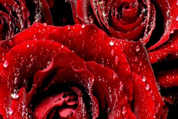 Rosas rojas cubiertas de agua
