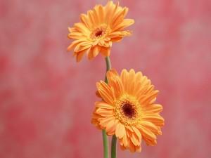 Postal: Dos gerberas naranjas