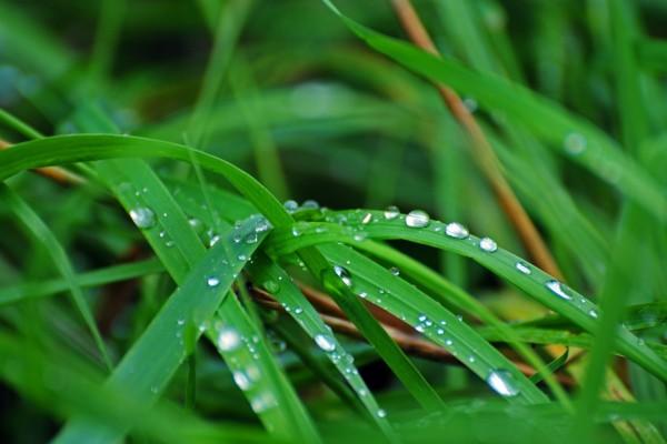 Gotas de agua en las briznas de hierba