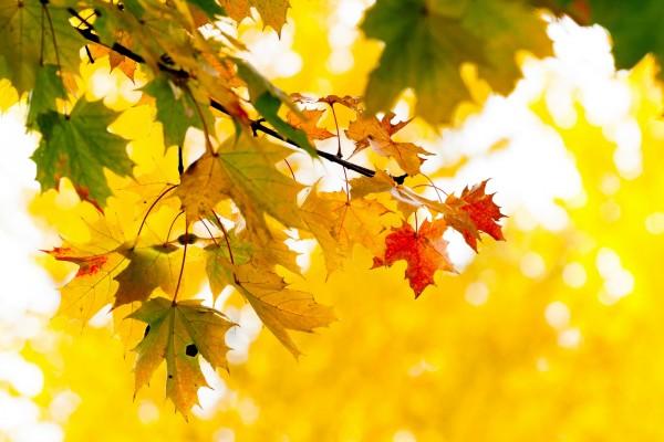 La rama de un árbol con hojas otoñales