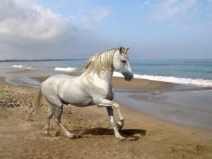 Postal: Caballo andaluz en la playa