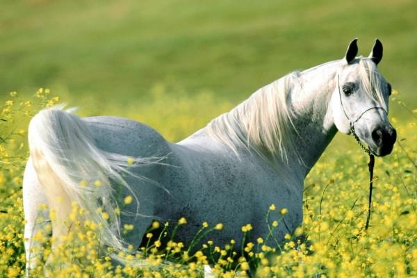 Caballo blanco entre las flores