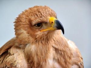 Un águila joven