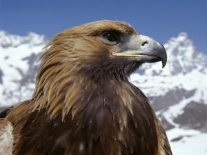 Postal: Perfil de un águila dorada