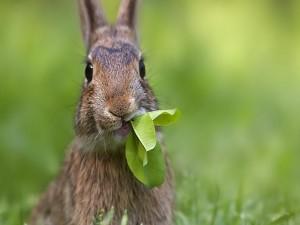 Postal: Liebre comiendo hojas verdes