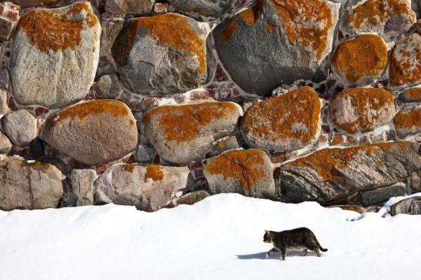 Gato caminando en la nieve junto a una pared de rocas