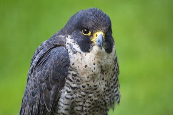Un halcón peregrino gris azulado
