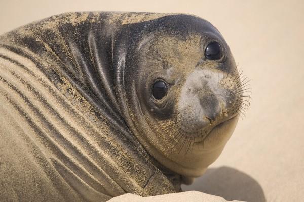 Una foca cubierta de arena