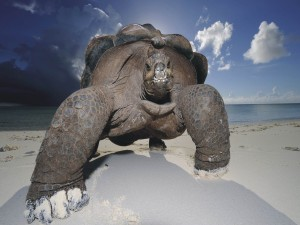 Postal: Gran tortuga en la arena