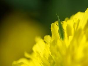 Saltamontes en una flor amarilla