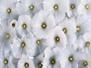 Postal: Pantalla cubierta de flores blancas