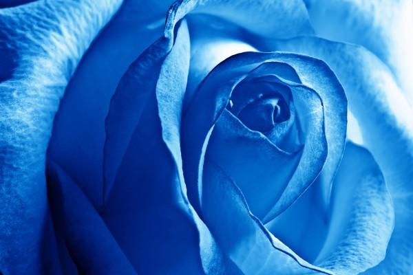 Una gran rosa de color azul