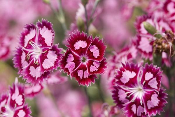 Flores con pétalos de dos colores