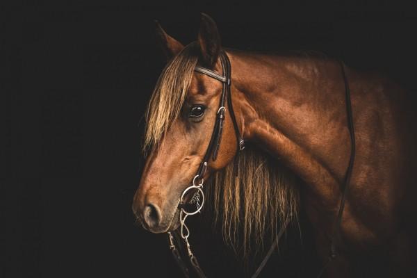 Cara de un caballo marrón