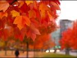 Arce con hojas otoñales en un parque
