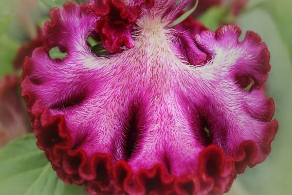 Flor cresta de gallo de color rosa