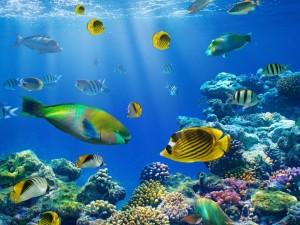 Coloridos peces entre el coral