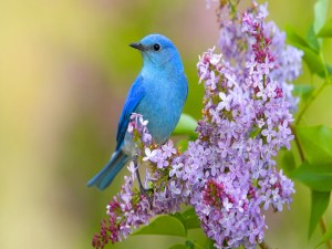 Pajarito azul sobre una lila