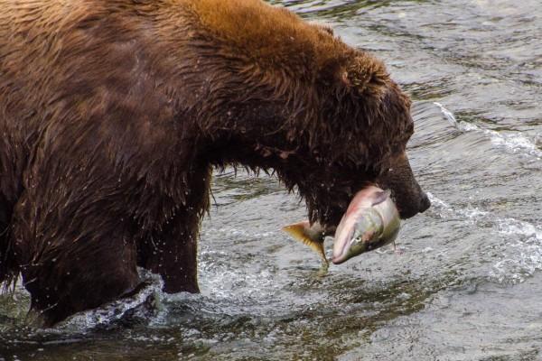 Oso con un salmón en la boca