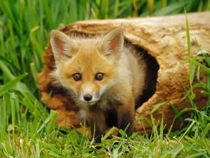 Un pequeño zorro en el hueco de un tronco