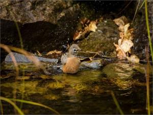 Postal: Pajarillo refrescándose en el río