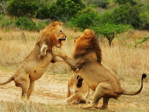 Pelea de leones