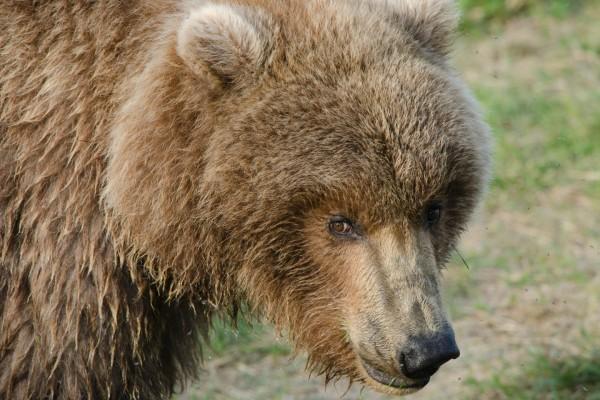 La cara de un gran oso