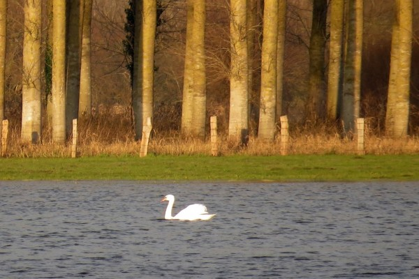 Un cisne en el lago al atardecer