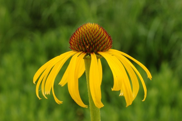 Una flor echinacea paradoxa
