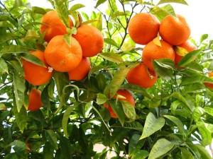 Un naranjo con naranjas maduras