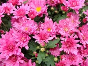 Postal: Flores de un bonito color rosa