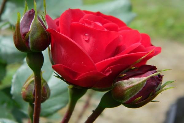 Pimpollos junto a una hermosa rosa