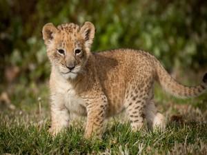 Cachorro de león sobre la hierba