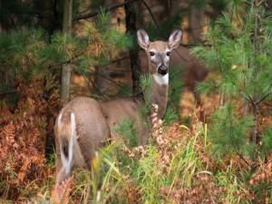 Postal: Un joven ciervo entre los pinos