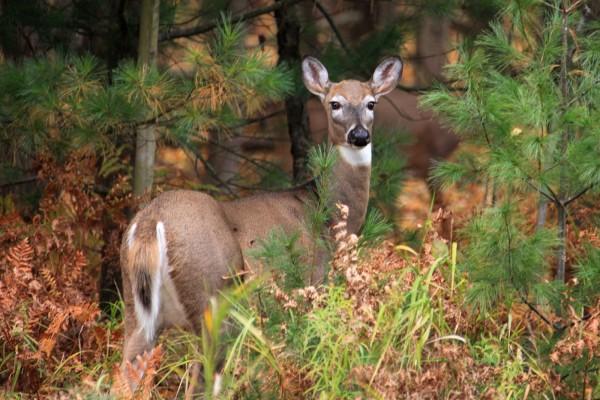 Un joven ciervo entre los pinos
