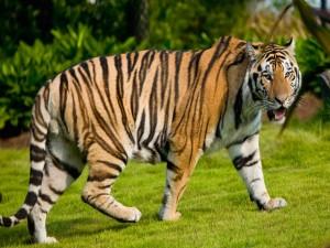 Tigre paseando por la hierba