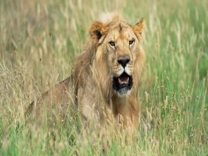 Postal: Un león observando el entorno