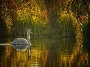 Cisne en un estanque