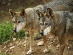 Dos lobos atentos