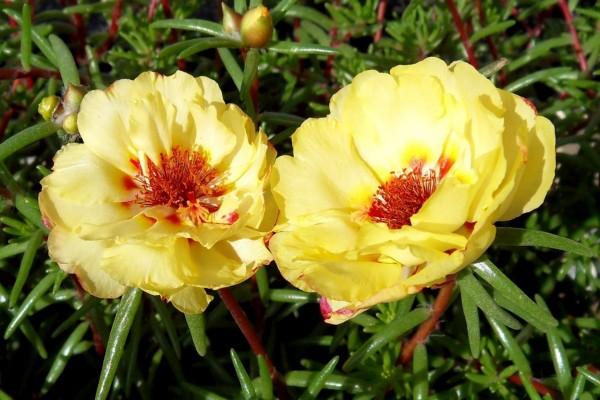 Dos hermosas flores amarillas