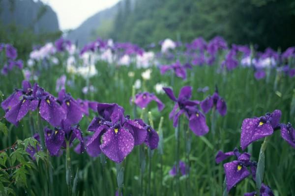 Iris en el campo mojados por la fina lluvia