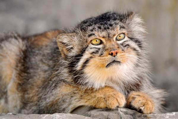 Manul o gato de Pallas