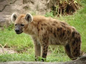 Postal: Una hiena solitaria