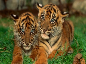 Postal: Dos cachorros de tigre