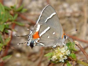 Una mariposa gris posada en unas flores
