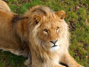 Un bonito león tendido en la hierba