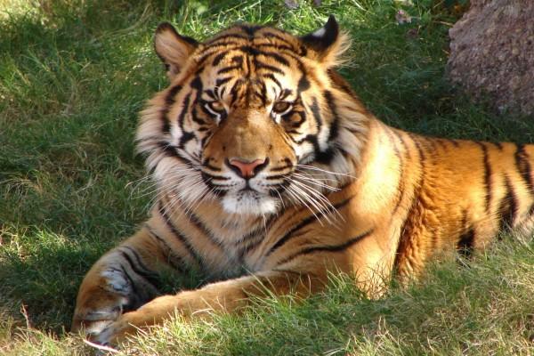 Hermoso tigre en la sombra de un árbol