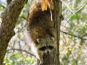 Postal: Mapache bajando del árbol