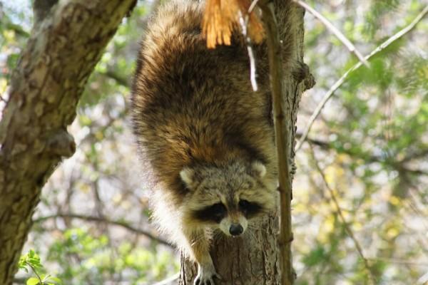 Mapache bajando del árbol