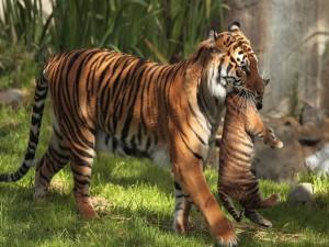 Tigre caminando con su cachorro en la boca